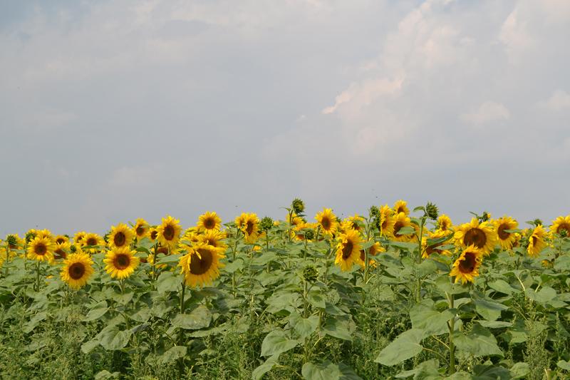 sonnenblumen-koenigshofen